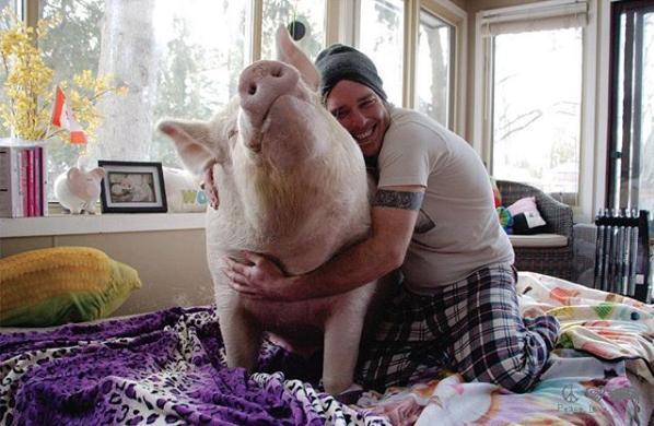 Парни приютили мини-пига, а он вырос в свинью на 300 кг