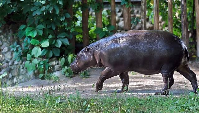 Московский зоопарк показал карликового бегемота Ксюшу после зимовки