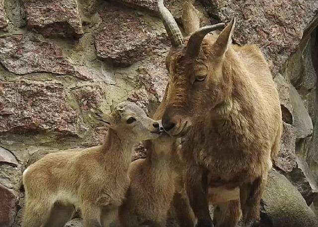В Московском зоопарке родились краснокнижные винторогие козлята