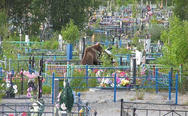 Медвежонок украл конфеты с могил на челябинском кладбище