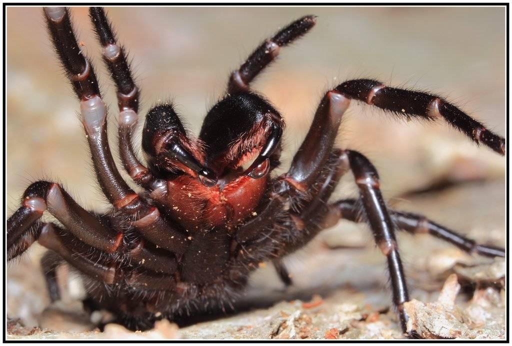 Сиднейский лейкопаутинный паук