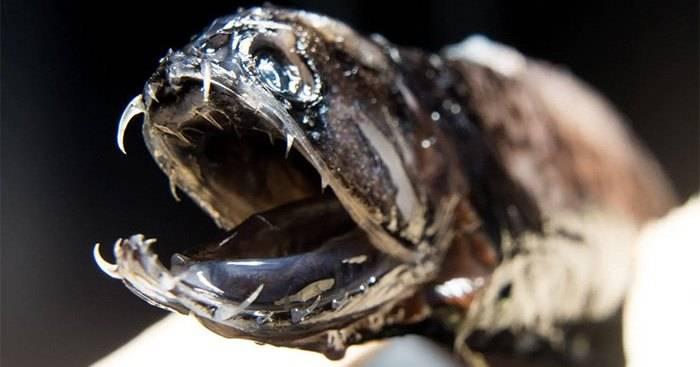 Откуда у рыбы-дракона прозрачные зубы