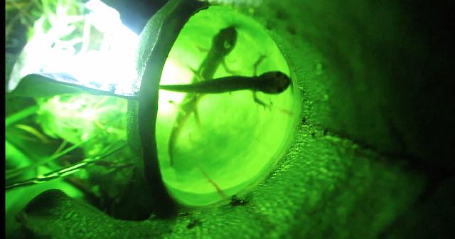 Растение поймали за поеданием саламандр