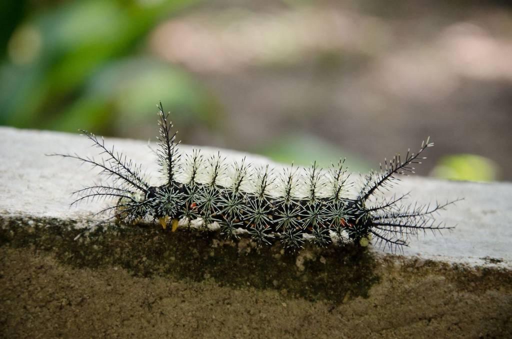 бразильская гусеница бабочки изсемейства павлиноглазок