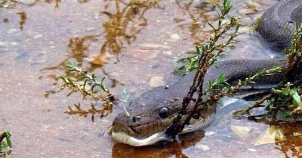 Как питон глотает крокодила