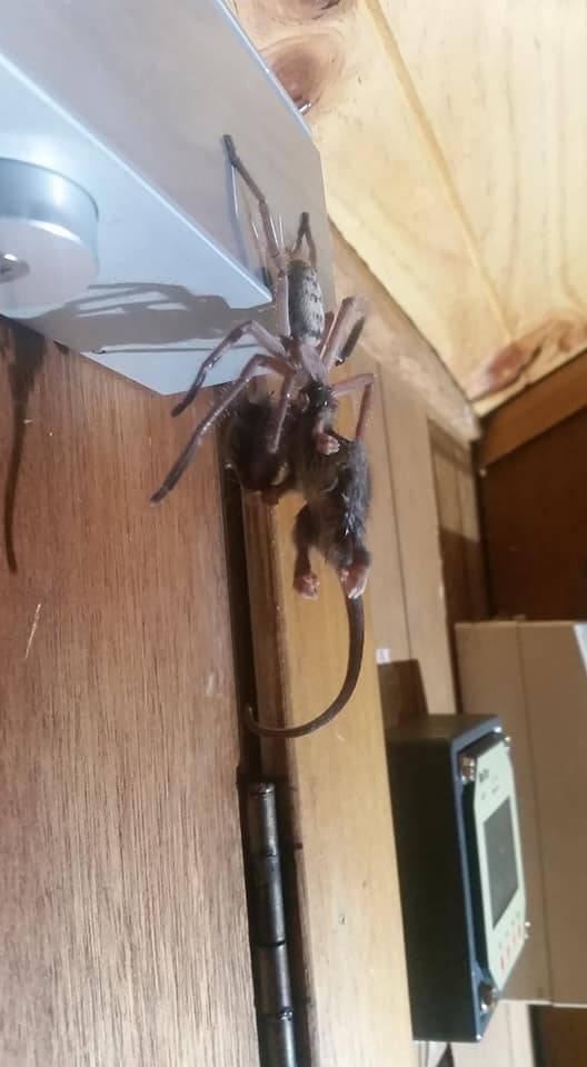 Австралийский паук съел целого опоссума