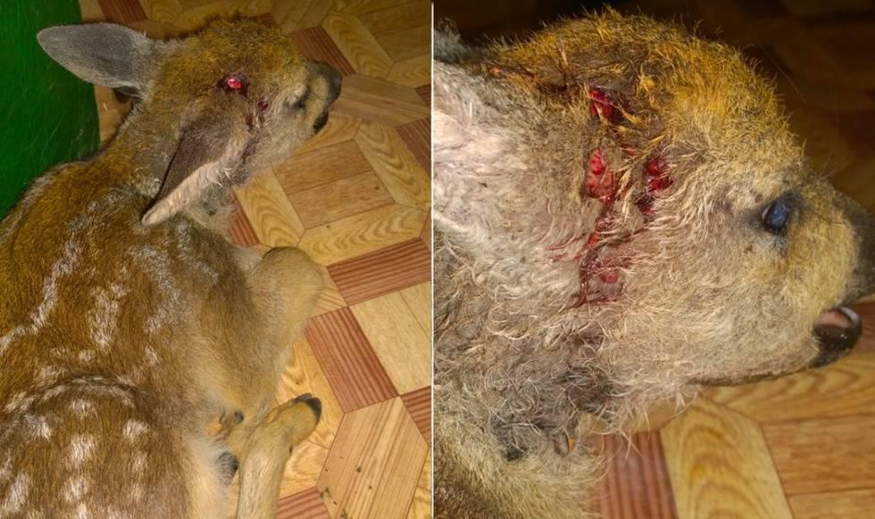 Туристы спасли косулёнка, который сорвался со скалы на Байкале