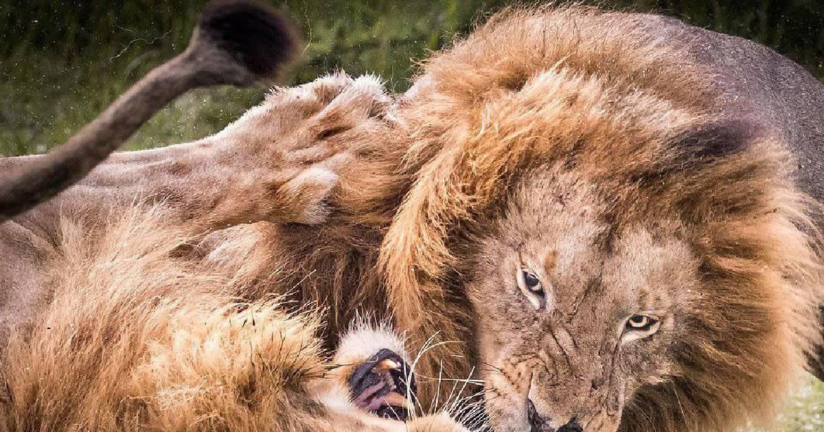 Схватка между львами