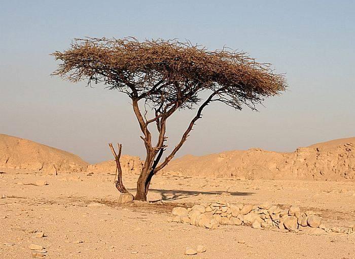 Африканский фикус (Ficus natalensis)