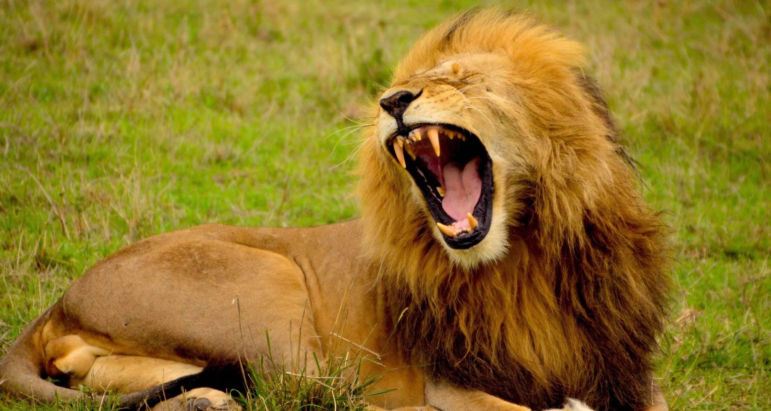 Как покормить льва