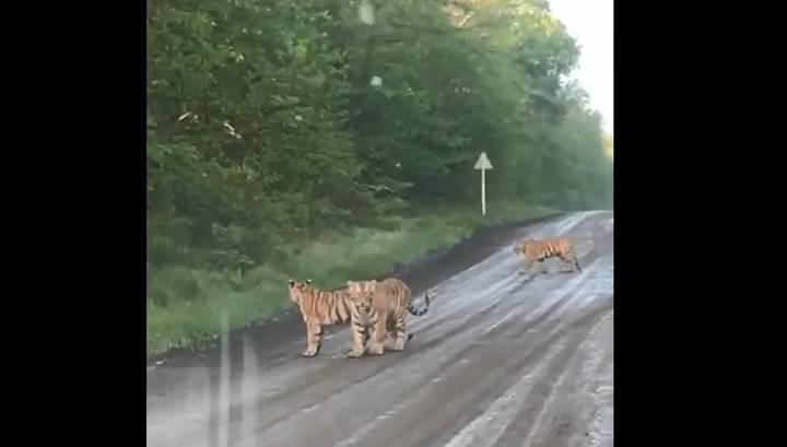 Очевидцы сняли на видео семейство тигров, вышедшее на трассу в Приморье