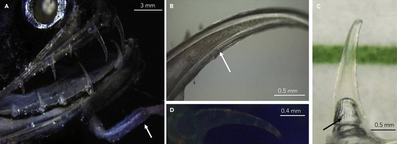 Сравнительные размеры зубов рыбы-дракона