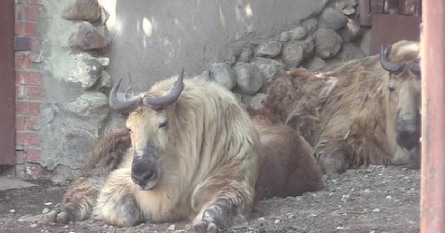 Малыш такин родился в Московском зоопарке