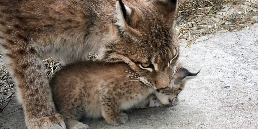 Рыси Чип и Гайка из Московского зоопарка в третий раз стали родителями