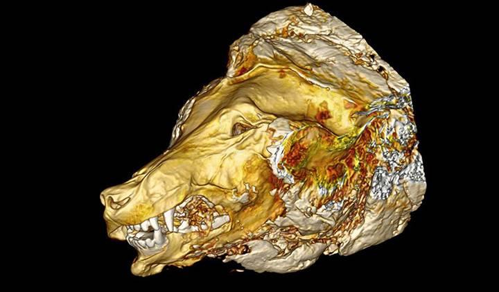 В вечной мерзлоте найдена отлично сохранившаяся голова волка