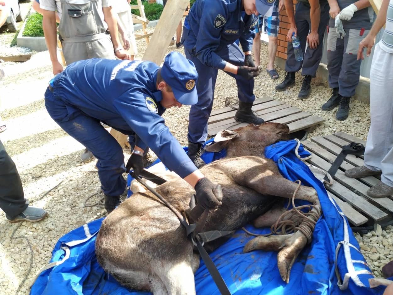 В Орловской области спасли провалившегося в люк лосёнка