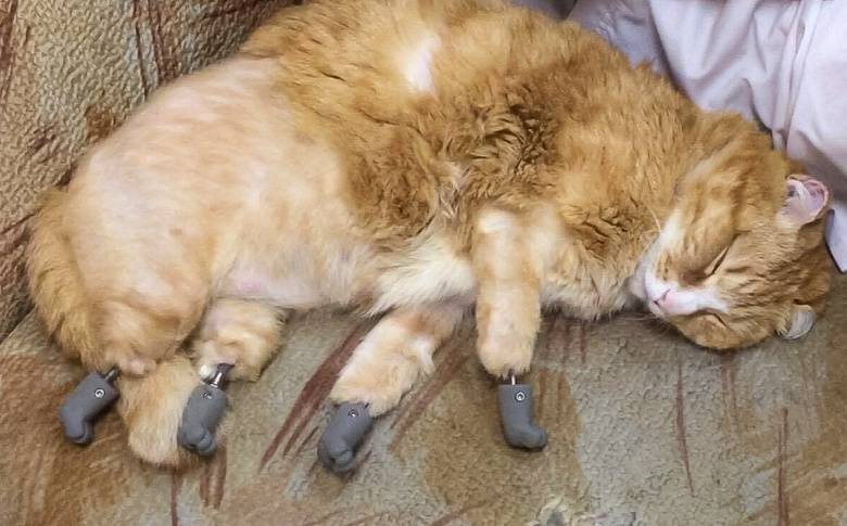 Томский кот Рыжик с протезами вместо лап