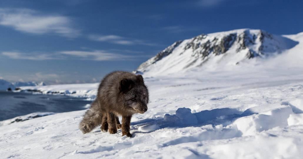 Полярная лисица за 76 дней преодолела 3 500 км