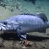 Глубоководная рыба поедает акулу целиком (видео)