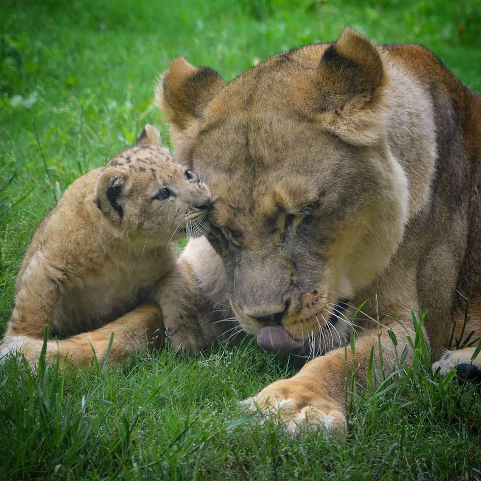 Красивый львенок Бахати из зоопарка