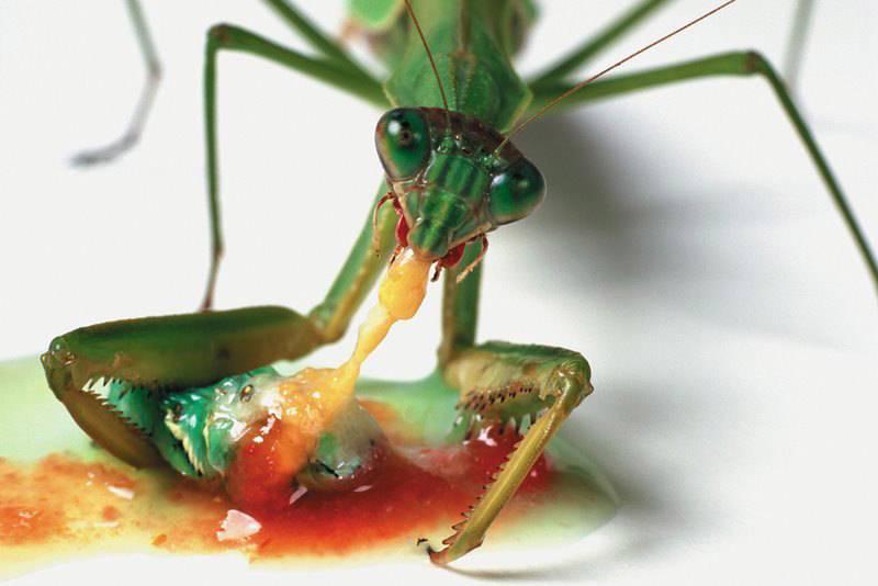 Богомол лакомится гусеницей