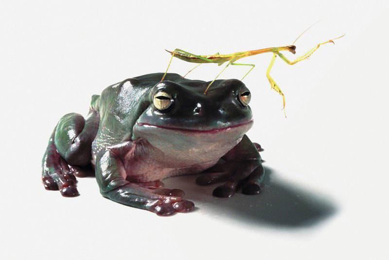 Жаба поедает богомола