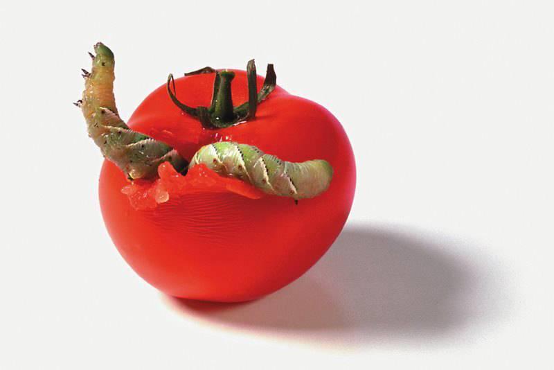 Гусеницы расправляются с помидором