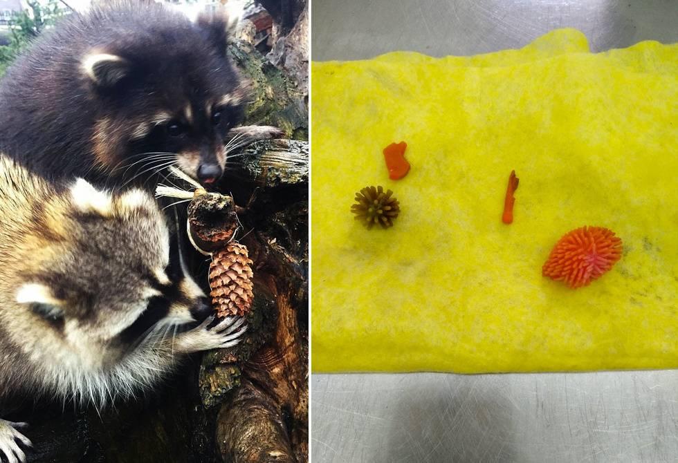 Енота Пухлик из калининградского зоопарка чуть не умер от игрушкек