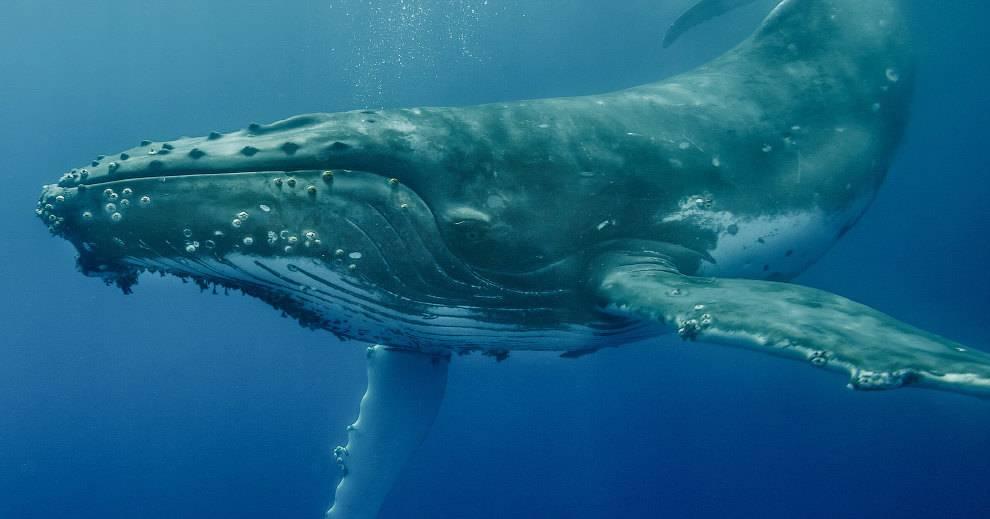 Горбатый кит спас дайвера от акулы