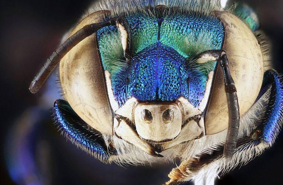 Самец орхидной пчёлы вида Eugloss dilemma