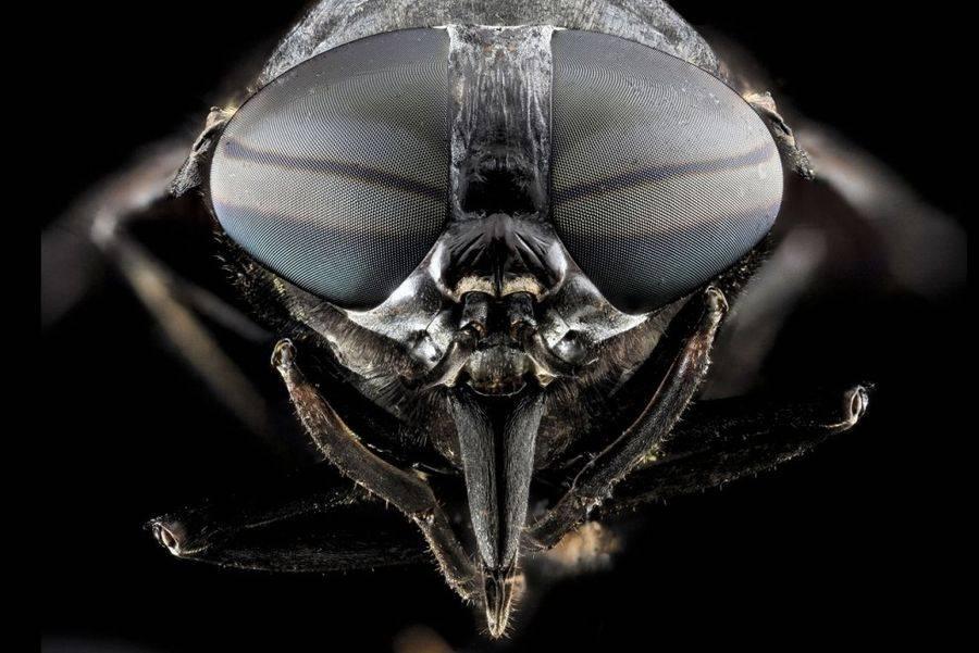 Слепень вида Tabanus atratus