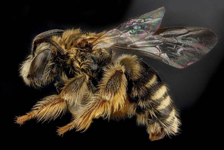 Exomalopsis analis, пчела из Доминиканской Республики