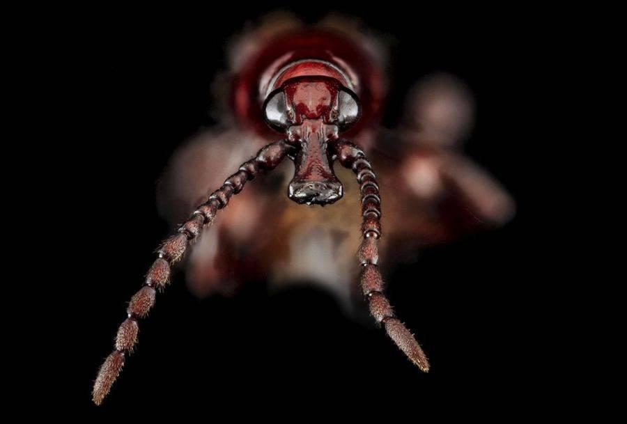 Древесный червь вида Arrhenodes minutus