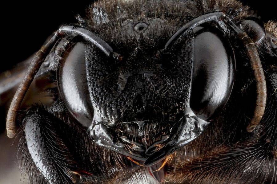 Пчёла-плотник вида Xylocopa cubaecola