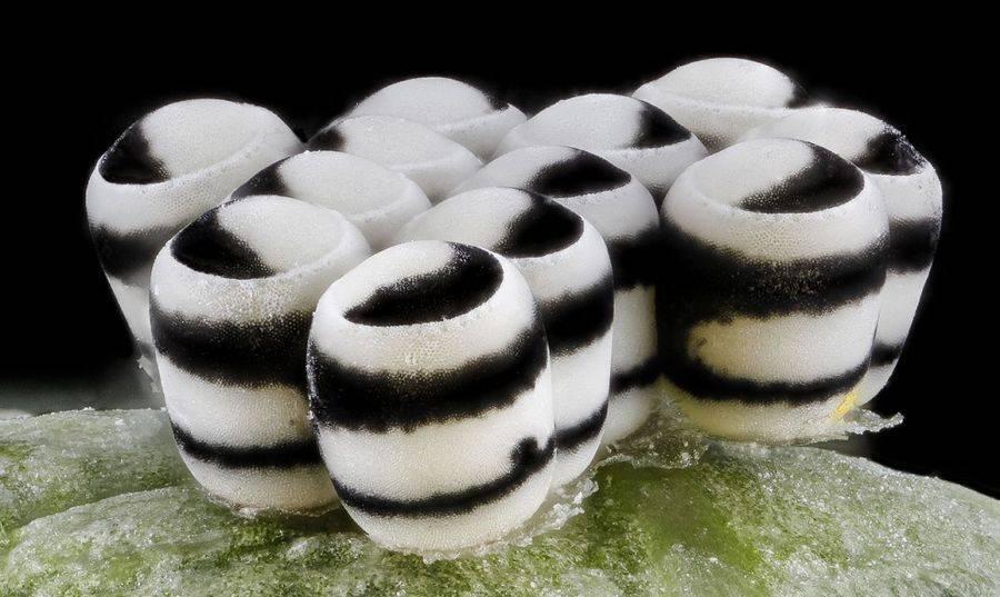 Яйца клопа-арлекина (Murgantia histrionica)