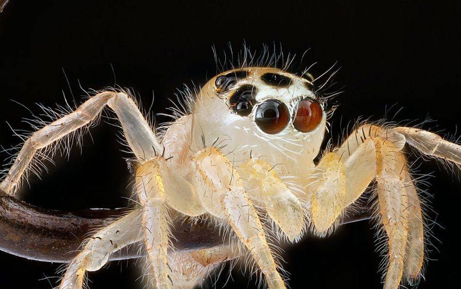 Прыгающий паук неизвестного вида