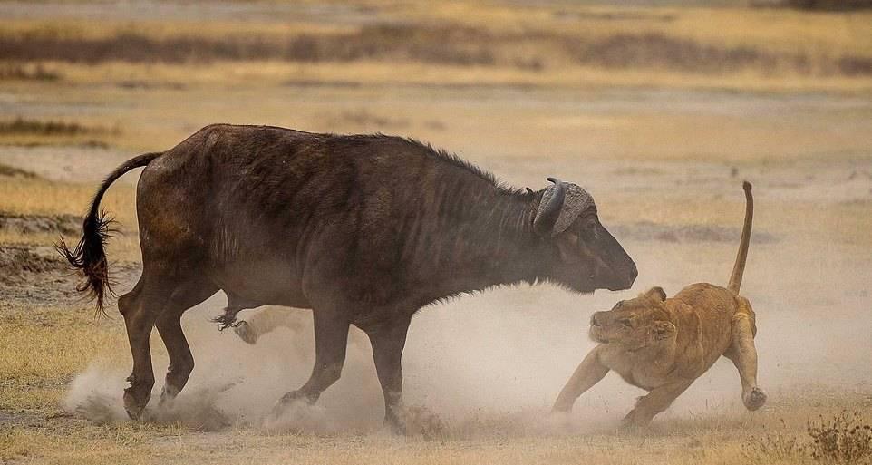 Схватка львов против буйвола
