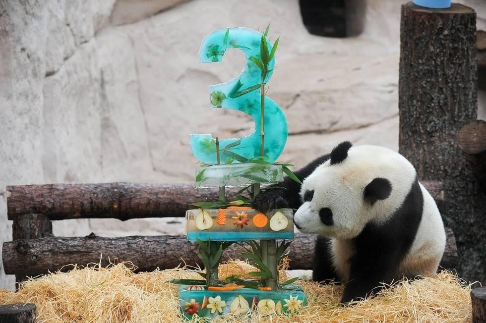 Московских панд Жуи и Диндин поздравили с днём рождения ледяными тортами