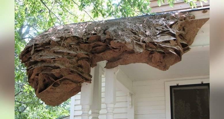 США подверглись угрозе колоссальных осиных гнезд