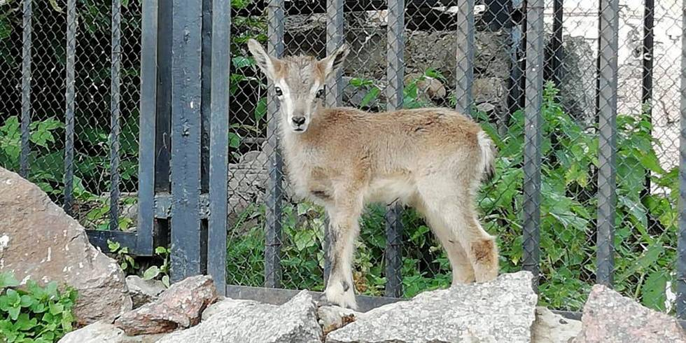 В Московском зоопарке родился ягнёнок голубого барана