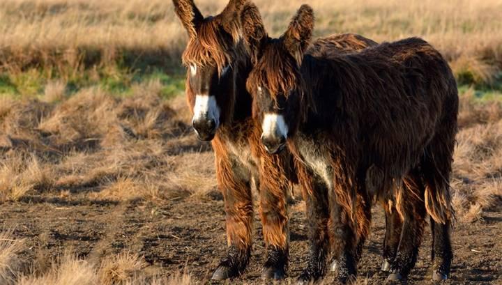 В Москву везут гигантских кудрявых ослов Пуату