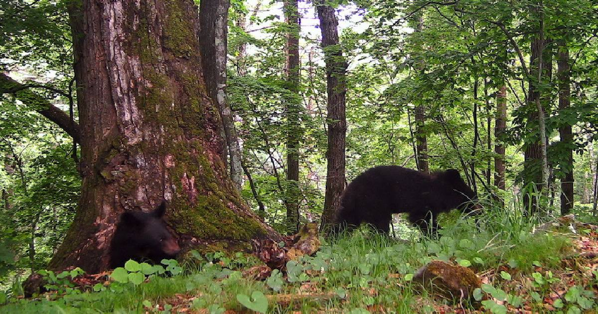 В Приморье упавший с дерева медвежонок удивил учёных