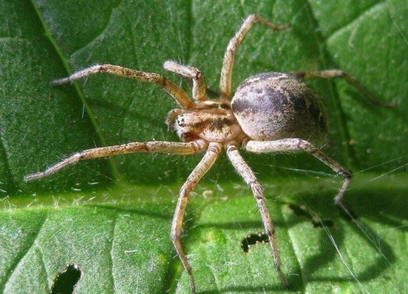 Лабиринтовый паук или агелена лабиринтовая