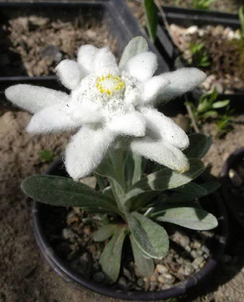 Цветок Эдельвейс (Leontopodium sp.)