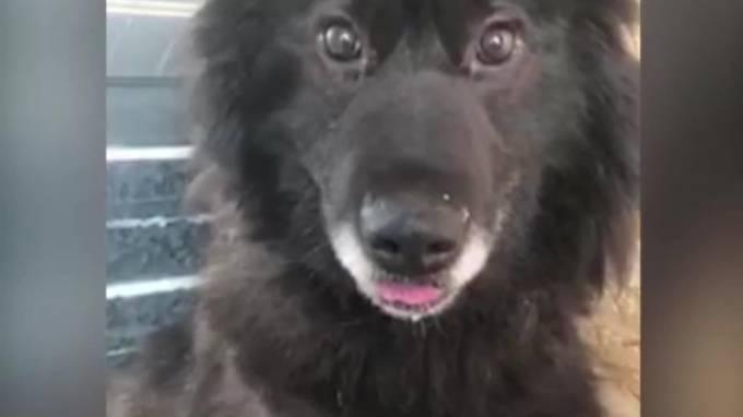 В ЯНАО спасли пса Монте-Кристо, восемь лет просидевшего в бетонном плену