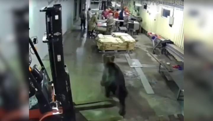 В цех рыбоперерабатывающего завода в Охе Сахалинской области ворвался бурый медведь