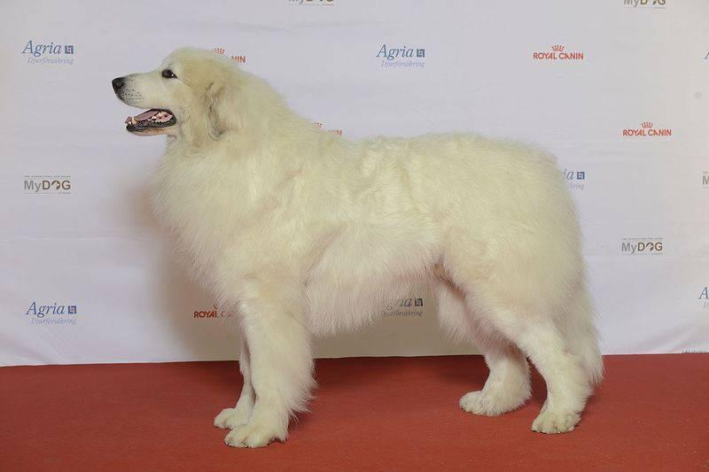 Пиренейская горная собака, или большой пиреней