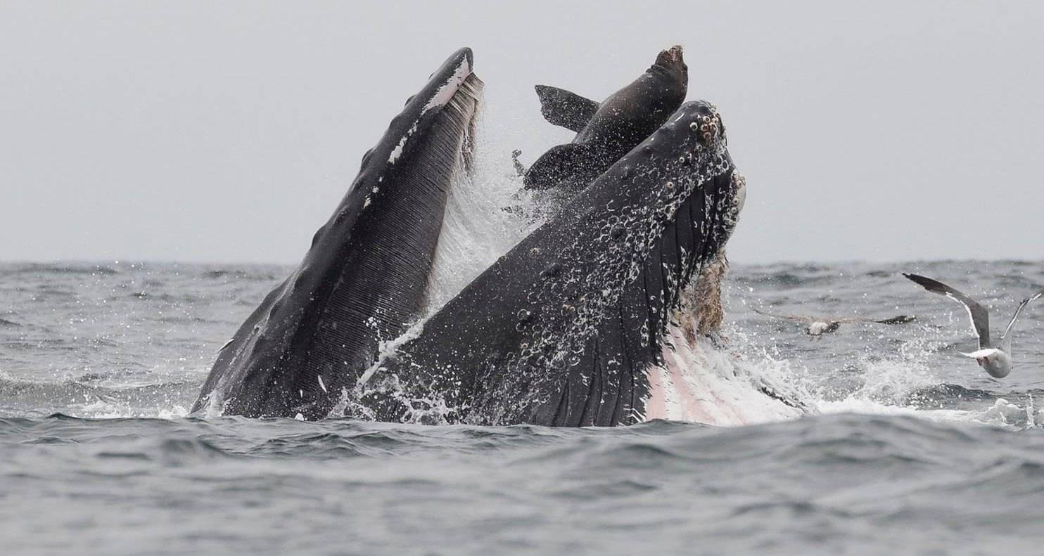 Горбатый кит поймал в пасть морского льва
