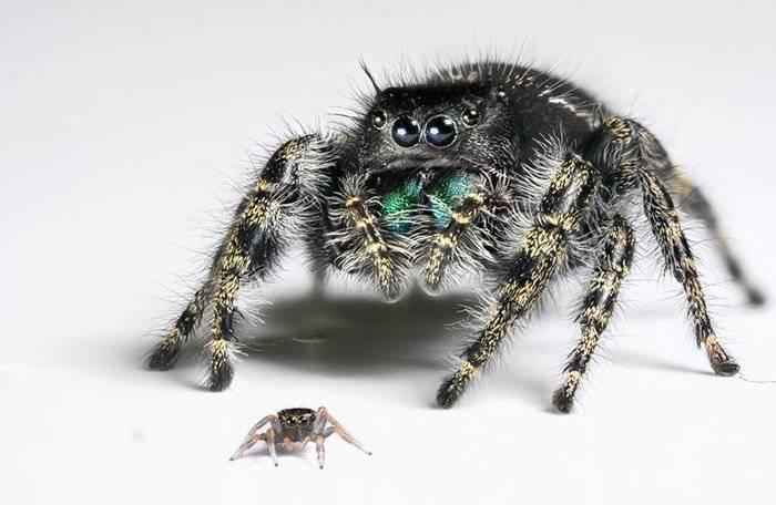 Взрослый паук иего детеныш