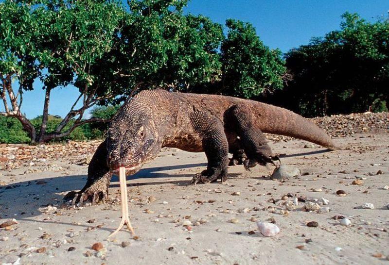 Комодский варан — самая крупная из ныне живущих ящериц